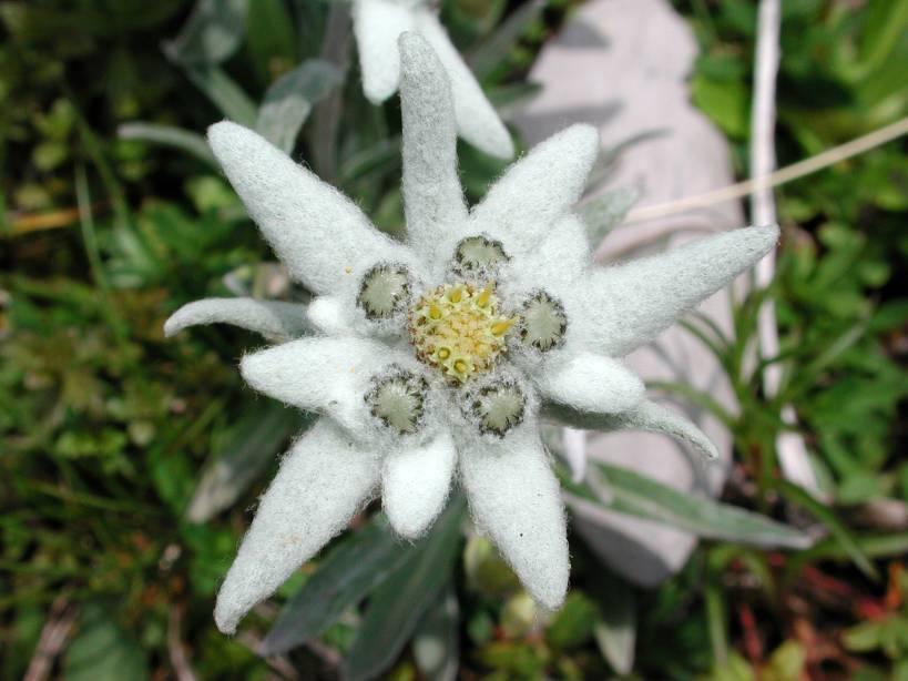 Картинки цветок эдельвейс 1