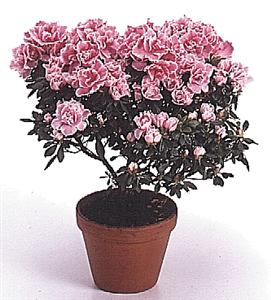 Plantes d\'intérieur 2 - Comment entretenir une azalée (rhododendron ...