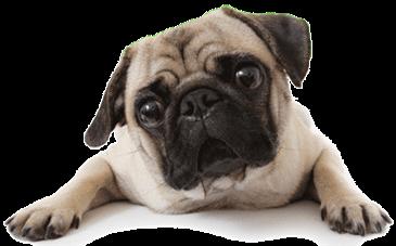 CANI   Mia Figlia Mi Chiede Insistentemente Un Cane, Nello Specifico Un  Carlino. Voi Avete Esperienze In Merito? Consigli?