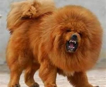 Sehr Le mastiff tibétain. | Toluna JF37