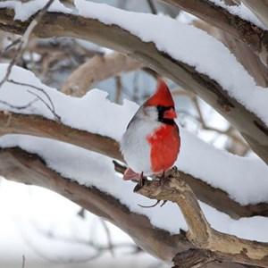 Passereau cardinal rouge et blanc ou miro incarnat d for Houpette oiseau