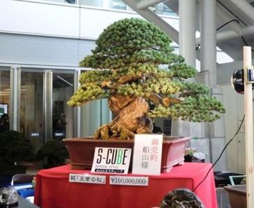 Il bonsai pi costoso del mondo toluna for Most expensive bonsai tree ever