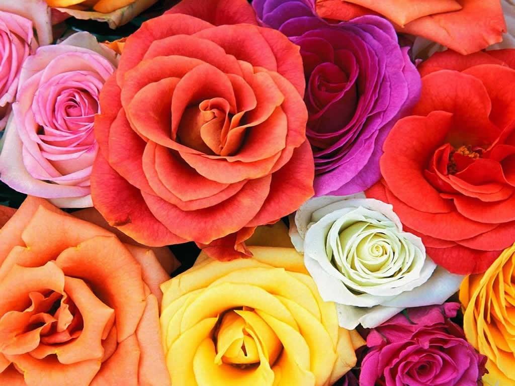 le langage des roses le connaissez vous toluna. Black Bedroom Furniture Sets. Home Design Ideas