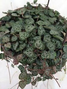 le ceropegia woodii cette plante grasse forme une cha ne de coeurs gr ce ces tiges tr s. Black Bedroom Furniture Sets. Home Design Ideas