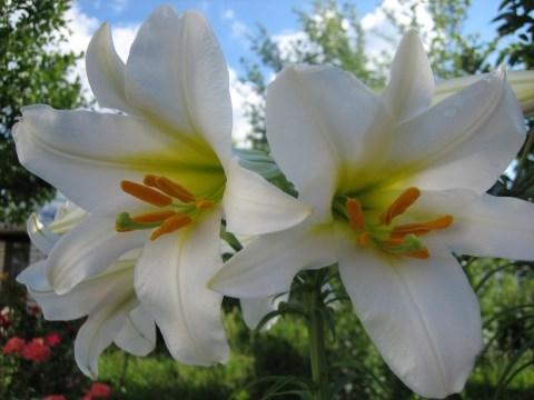 фото белые лилии скачать