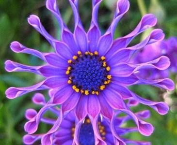 Fiore meraviglioso margherita africana o osteospermum for Margherita pianta