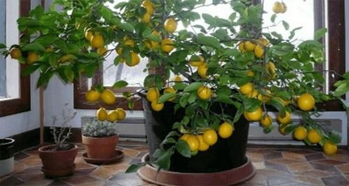Cekirdekten limon yetistirenler var m?? Toluna
