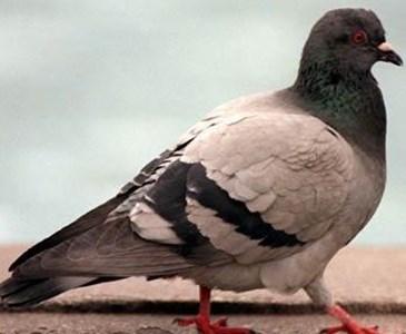 londres quipe 10 pigeons pour mesurer la qualit de l 39 air toluna. Black Bedroom Furniture Sets. Home Design Ideas