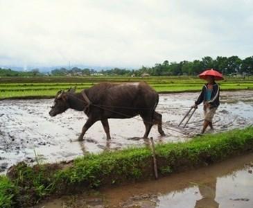 Resultado de imagen de rice fields filipinas carabao