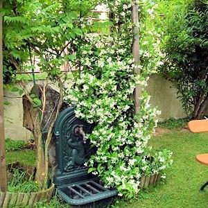 Le jasmin blanc ses tiges souples portent des for Portent feuilles