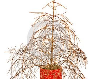 Weihnachtsbaum Nadeln.Fängt Euer Weihnachtsbaum Auch Schon An Zu Nadeln Toluna