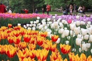 Dans Le Langage Des Fleurs La Tulipe Exprime Une