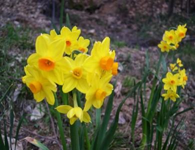 Fiori gialli toluna for Dalie giganti