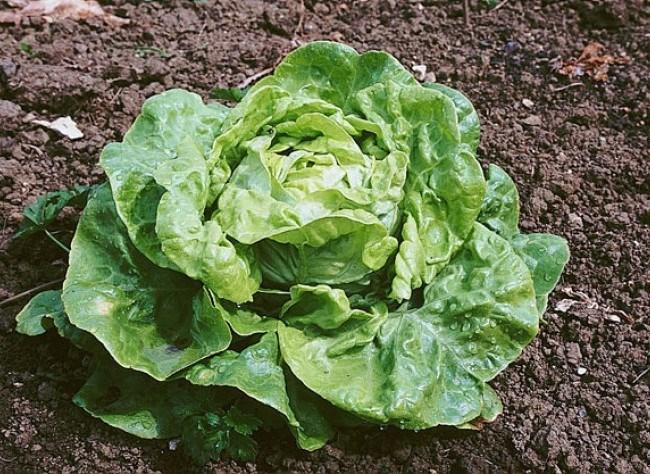 La laitue source de bienfaits toluna - Quelle salade planter maintenant ...