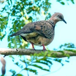 Makan Burung Punai Atau Burung Balam Toluna