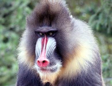 全球奇异猴子物种 刚果公猴拥有蓝色生殖器图片