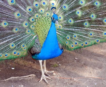 Do You Know The Most Beautiful Bird In The World Peacock Had The