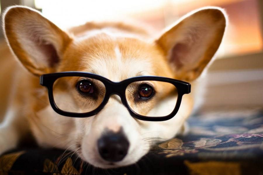 dog with glasses - 900×600