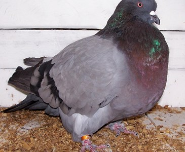 Do you get lots of pigeons in your garden