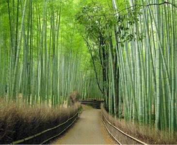 Bosco Di Bamb.Meraviglie Del Mondo Moderno Sagano Giappone Bosco Di