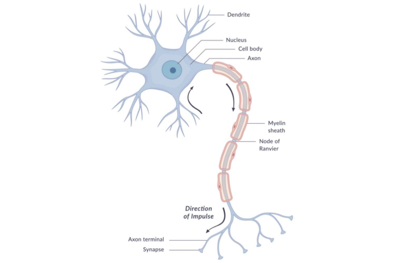 brain biology encyclopedia cells body function - 768×512