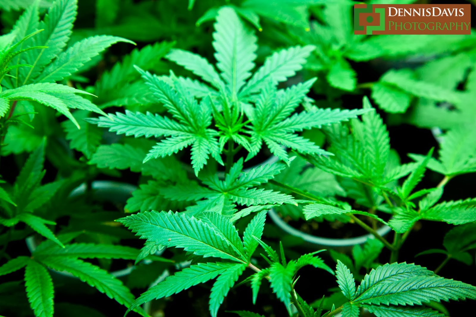 an argument in favor of the legalization of marijuana in canada Legalization of marijuana could eventually lead to the legalization of harder drugs or all drugs altogether culture shifts rarely happen overnight.