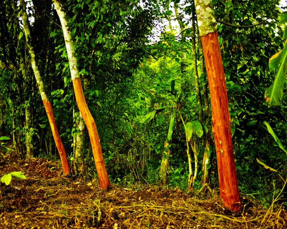 Tarçın ağacı | Toluna