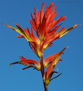 Wyoming state flower: Indian paint brush