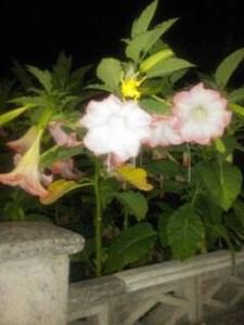 Otra Flor Nocturna Toluna