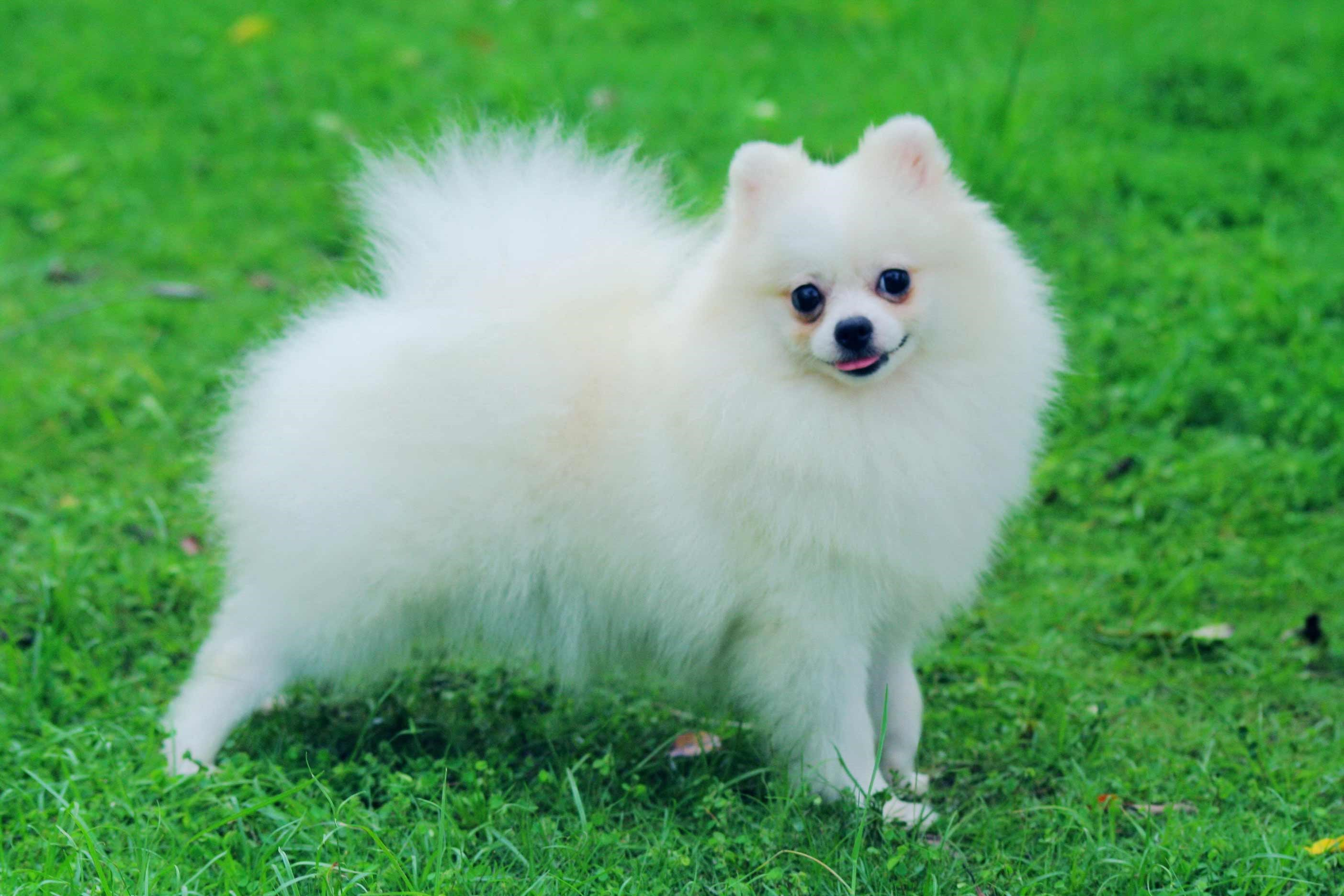 pomeranian dog breed information and pictures - HD2880×1800