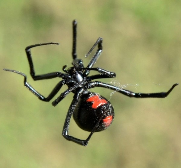 Black widow spider picture contest — pic 9
